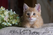 Друзья,  в дар котенок рыжий,  возраст 2 месяца,  ручной,  ласковый,  к лот