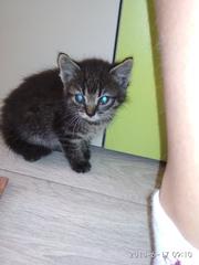 Маленький котенок в добрые руки. Красивая девочка. Здоровенькая. К лот
