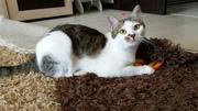 В добрые руки чудесная кошка Мурка