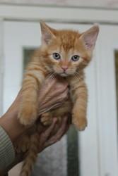 В ответственные руки котята. Возраст 2 месяца. Трехцветные - девочки,