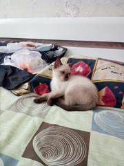 В ответственные руки сиамский котёнок. Мальчик. Возраст 2, 5 месяца. Ла