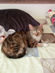 Молодая кошечка Инди около 4 месяцев. Ласковая,  ненавязчивая,  в еде не