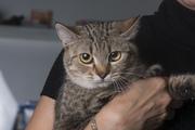 В дар кошка Пелагея,  возраст 10-12 месяцев,  стерилизована,  к лотку при