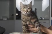 В дар кошка-подросток,  возраст 5-6 месяцев,  здорова,  стерилизована. К