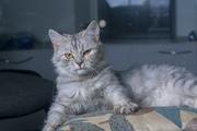 В дар кошка серо-голубая полосатая. Возраст около года. Стерилизована.