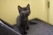 Отдаем в дар черный котенок мальчик. Возраст 2 месяца,  здоров,  контакт