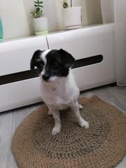 Маленькая собачка Жуля ищет любящую семью. Девочке 2 года,  примерно 20 см высота в холке, кастрирована,  добрая, ласковая, приучена к выгулу, отлично гуляет на поводке,  ладит с котами и другими собаками. Жулька идеальный вариант для тех кто хочет маленького др