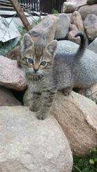 Маленький котенок, мальчик 1, 5-2 месяца ищет дом. В еде не привередлив,