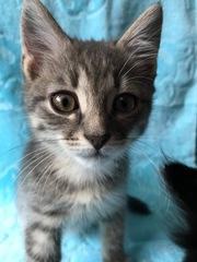 Гродно!!! Знакомьтесь двухмесячные котята в дар!