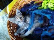 Милашка и умничка - котенок девочка )))) Ходит на лоточек без промахов