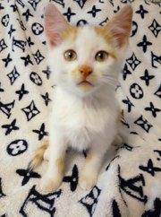 Найден котенок. Мальчик ,  имеет рыжа-белый окрас. Любит много покушать