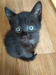 Очаровательная малышка Пуговка ищет дом. 7 недель от роду. Очень аккур