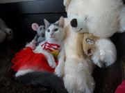 Шикарнейшая девочка от красавицы кошки в дар