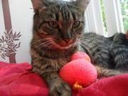 котенок окрасса табби