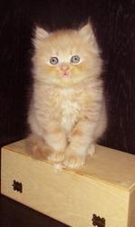 Продам котят персидских